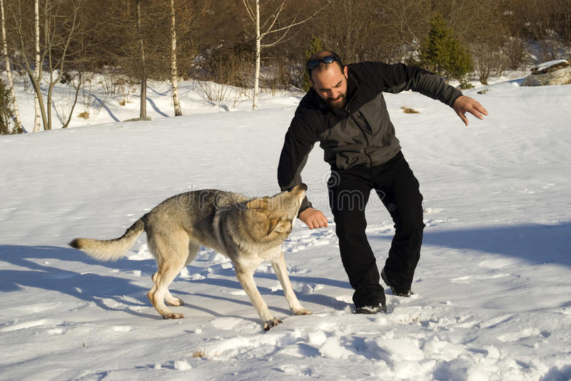 Attack dog. Aggressive Czechoslovakian wolf dog in a training of attack stock photo