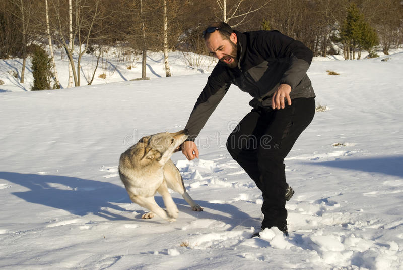 Attack dog. Aggressive Czechoslovakian wolf dog in a training of attack royalty free stock photography