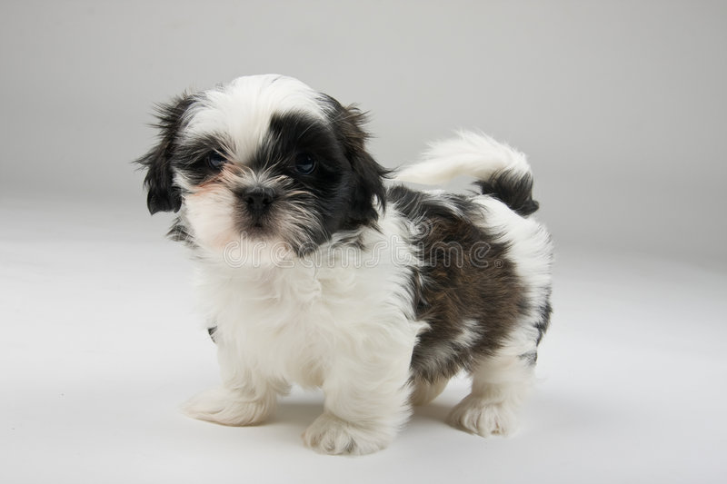 Attack Dog. Brave but cute little Shih Tzu puppy standing his ground like a tough attack dog stock photography