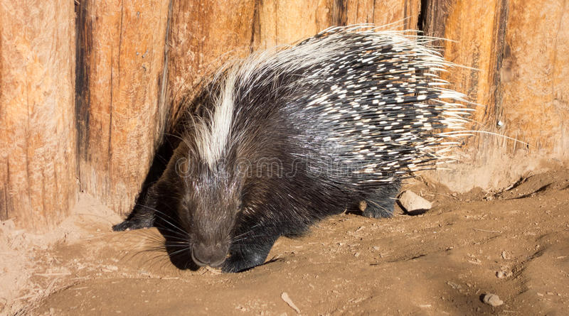 Attack is Imminent, ready to defend its own ground!. African Crested Porcupine attack is imminent with sharp quills ready to stab invaders and offenders stock photos