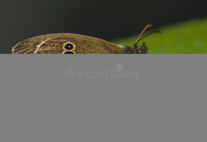 Download Attack Misumena Vatia On Aphantopus Hyperantus Stock Image - Image: 25729001