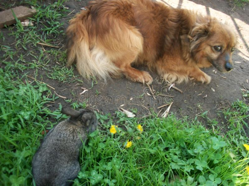 Attack of a rabbit on a dog. Gray little rabbit went out of curiosity to the courtyard dog. The shaggy dog ​​did not royalty free stock photos