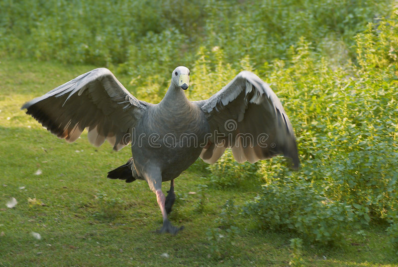 Attacking goose. Cape Barren Goose (Cereopsis novaehollandiae royalty free stock photos