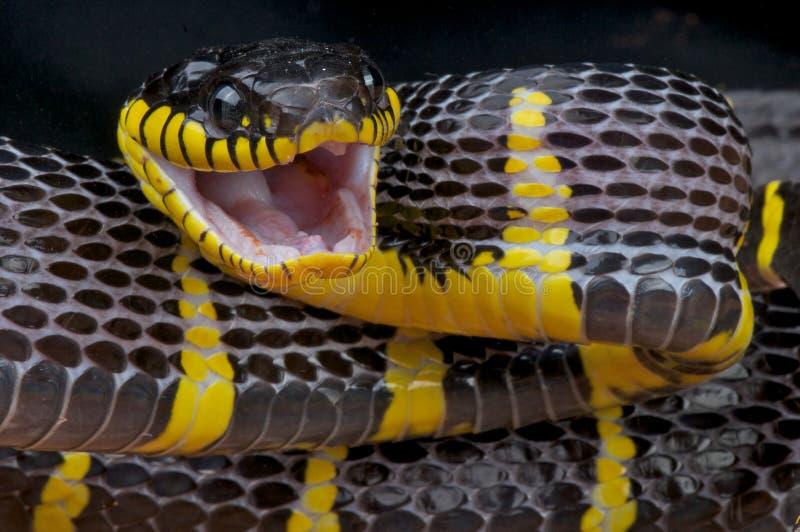 Attacking mangrove snake royalty free stock image