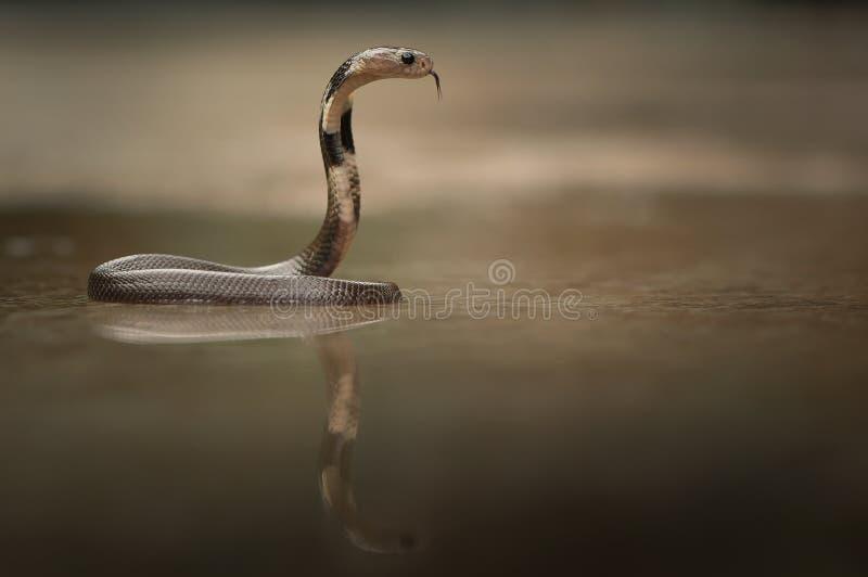Attacks snake. Snake attack teh insert royalty free stock images
