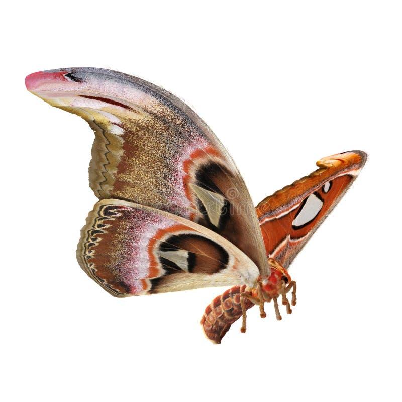 Attacus atlanta Saturniid ?ma latania Wielka poza Odizolowywaj?ca na Bia?ej t?a 3D ilustracji zdjęcie royalty free