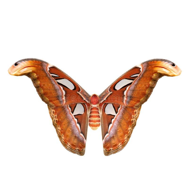 Attacus-Atlas gro?e Saturniid-Motten-Fliegen-Haltung lokalisiert auf wei?er Illustration des Hintergrund-3D stock abbildung