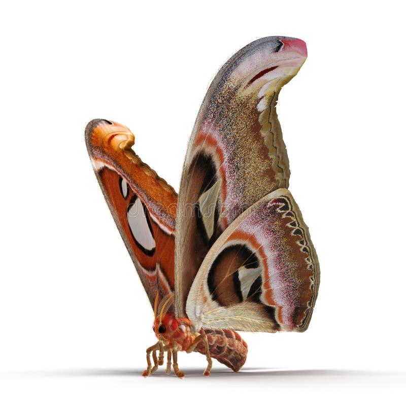 Attacus-Atlas gro?e Saturniid-Motten-sitzende Haltung lokalisiert auf wei?er Illustration des Hintergrund-3D lizenzfreie stockfotos