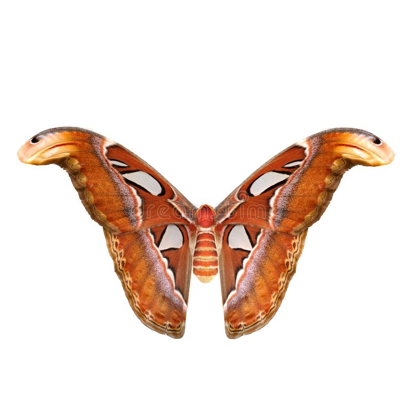 Attacus Atlas Large Saturniid Moth Flying Pose Isolated on White Background 3D Illustration stock illustration