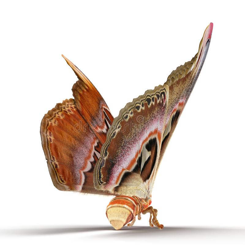 Attacus Atlas Large Saturniid Moth Sitting Pose Isolated on White Background 3D Illustration stock images