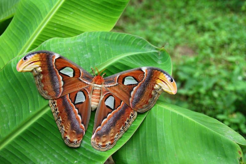 Download Attacus Atlas Moth stock image. Image of farming, exotic - 20899295