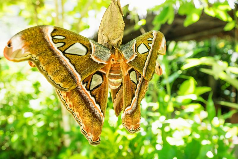 Attacus caesar, moth in Saturniidae family with brown orange colours, Bohol, Philippines royalty free stock images
