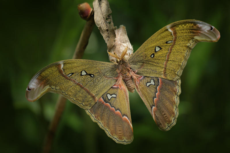 Attacus Caesar, Motte in der Saturniidaefamilie, Süd-Philippinen Schöner großer Schmetterling, im Lebensraum Wild lebende Tiere i stockbild