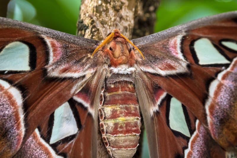 Attacus kartbokmalar ?r en av de st?rsta lepidopteransna i v?rlden royaltyfria foton
