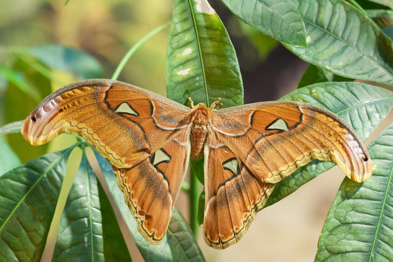 Attacus lorquini butterfly royalty free stock images