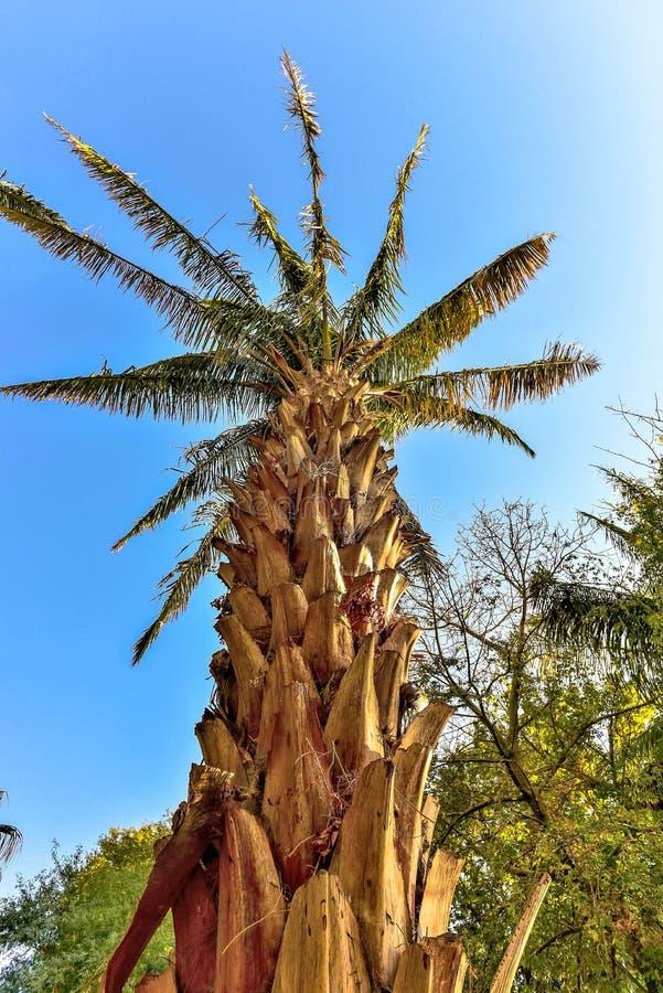 AttaleaSaccharifera palmträd royaltyfri fotografi