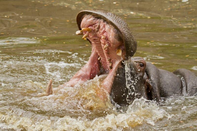 Attaque d'hippopotame images stock