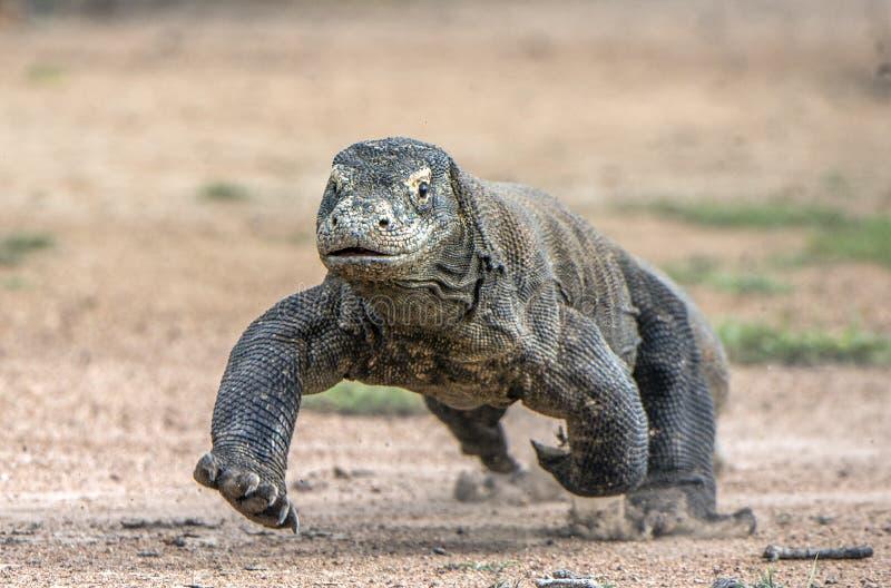 Attaque d'un dragon de Komodo Le dragon fonctionnant sur le sable Le dragon de Komodo courant (komodoensis de Varanus) image libre de droits