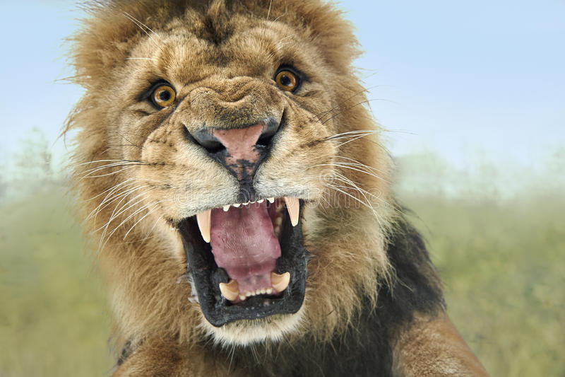 Attaque de lion photos stock