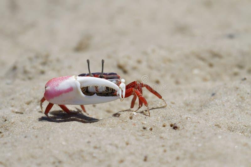 Attaques d'un crabe de violoneur photo stock