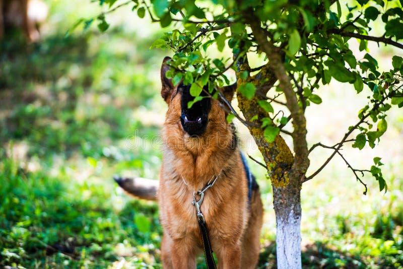 Attaques f?ch?es de chien Le chien semble agressif et dangereux berger allemand image libre de droits