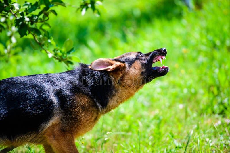 Attaques f?ch?es de chien Le chien semble agressif et dangereux berger allemand images stock