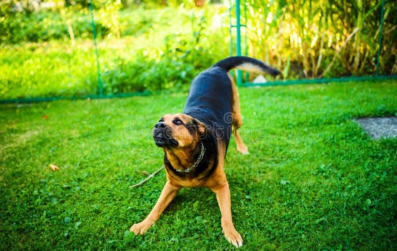 Attaques f?ch?es de chien Le chien semble agressif et dangereux photos libres de droits