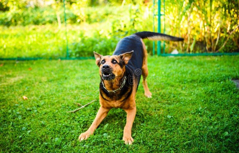 Attaques f?ch?es de chien Le chien semble agressif et dangereux image libre de droits