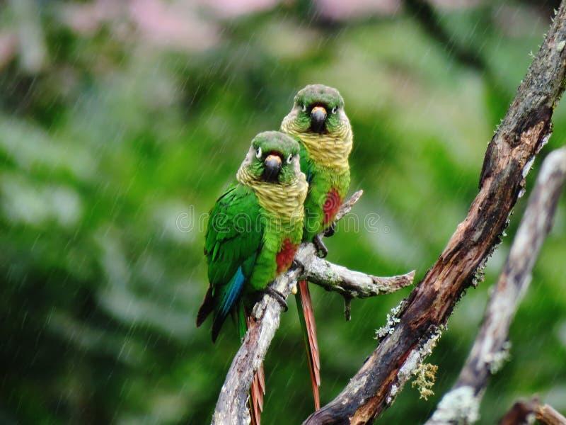 Attente de deux oiseaux sous la pluie photos stock