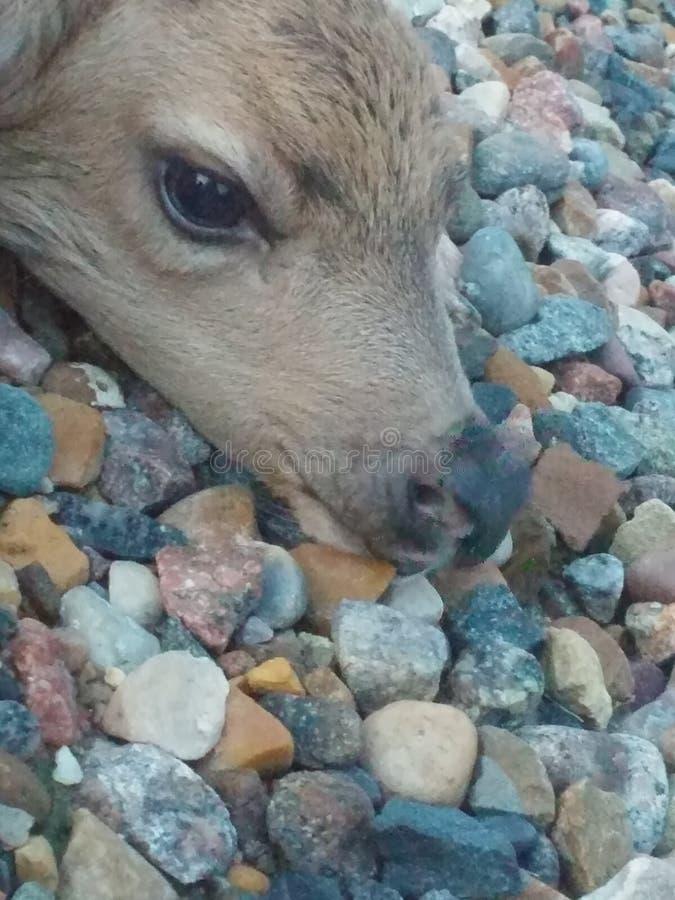 Attente de veau de cerfs communs photographie stock
