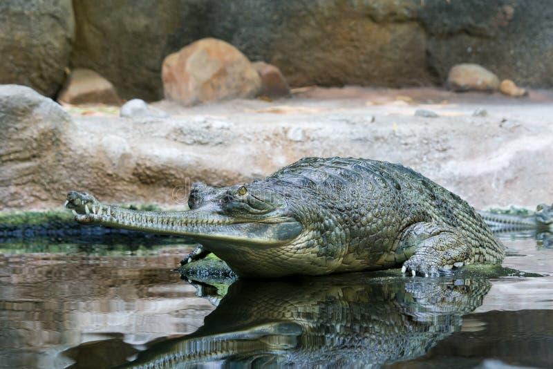 Attente gavial image stock