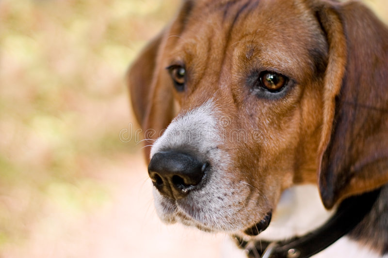 Attentive Beagle Dog royalty free stock images