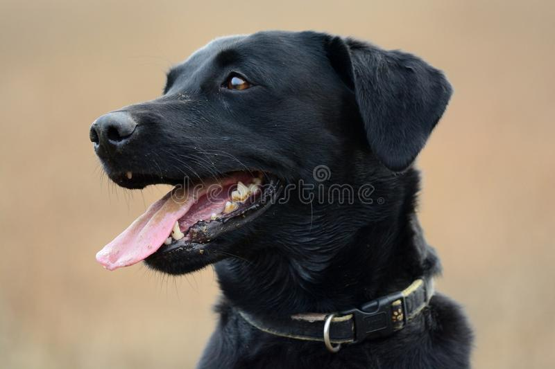 Attentive black Labrador. Head shot of a cute black Labrador royalty free stock image
