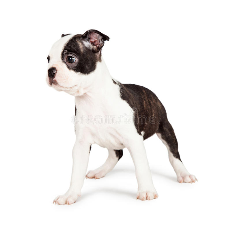Attentive Boston Terrier Puppy Looking to Side. Little seven week old Boston Terrier puppy standing and looking off to the side. Isolated on white stock photos