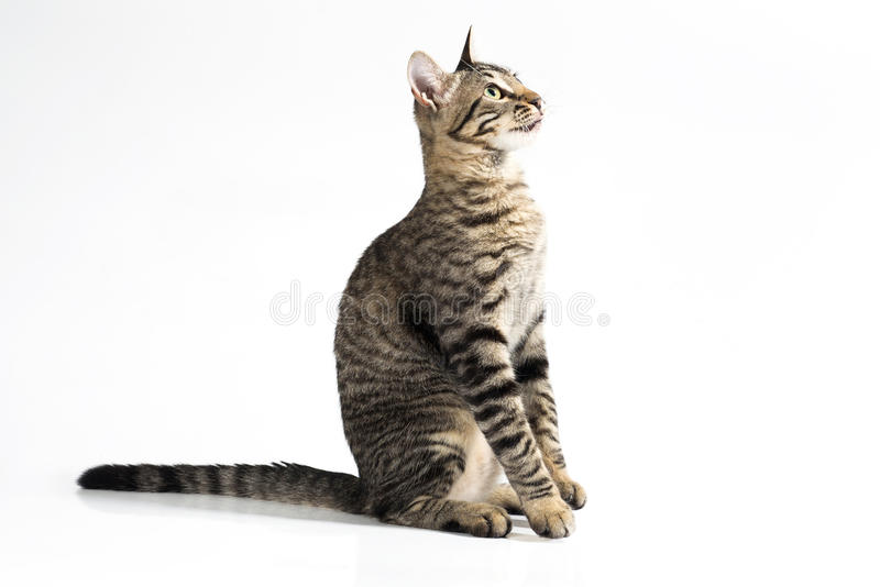 Attentive cat sitting down on a side view on a white background royalty free stock photo