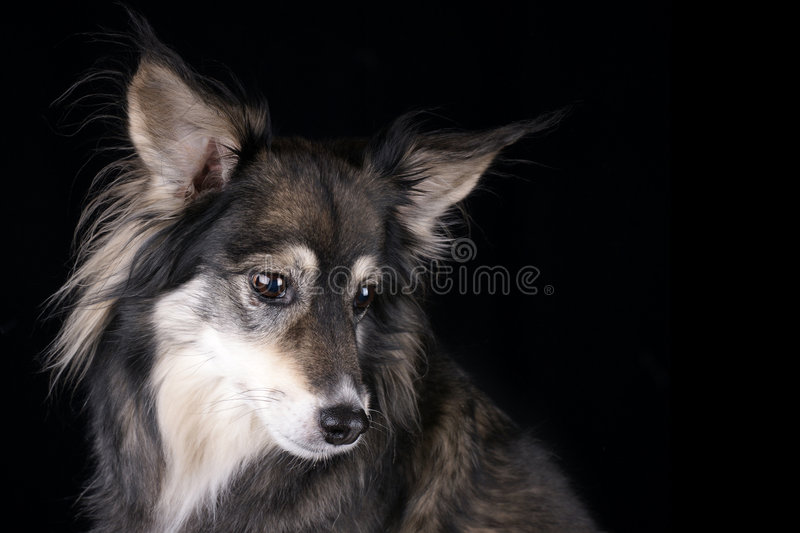 Attentive Dog Royalty Free Stock Photography