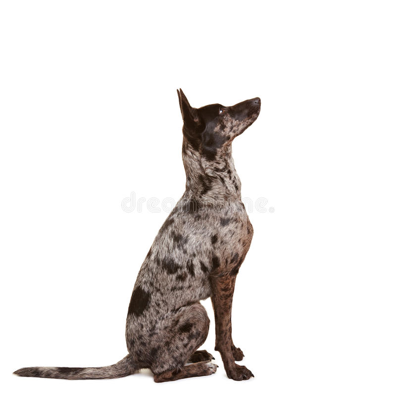 Download Attentive Dog Learning Command Sit Stock Photo - Image: 20183176
