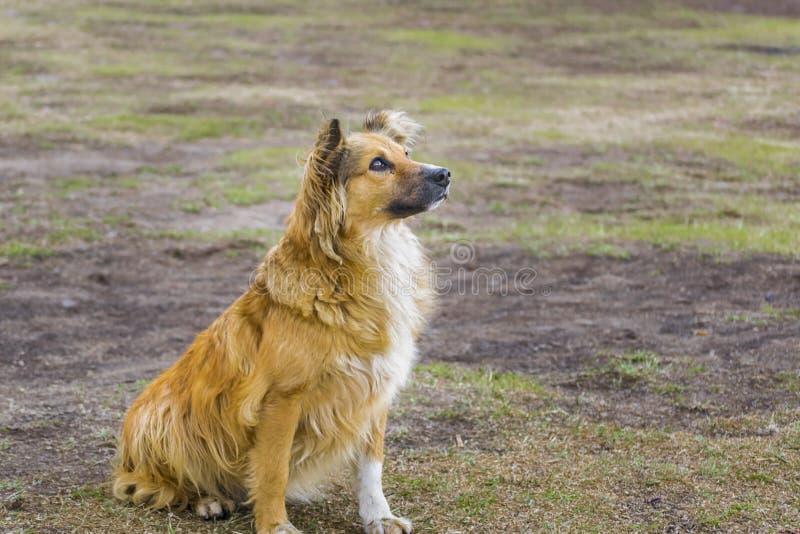 Fantastic Icelandic Sheepdog Canine Adorable Dog - attentive-dog-waiting-food-orange-hair-adorable-face-70789215  Photograph_508075  .jpg