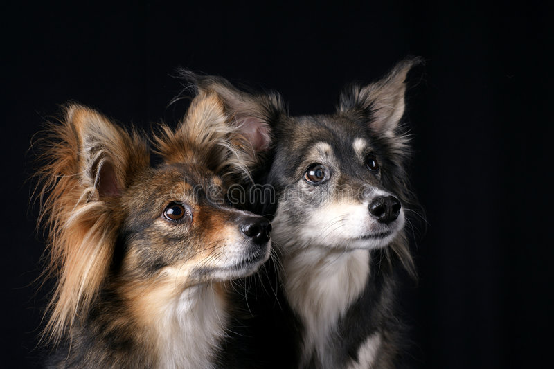 Download Attentive Dogs stock image. Image of looking, haired, black - 8164677