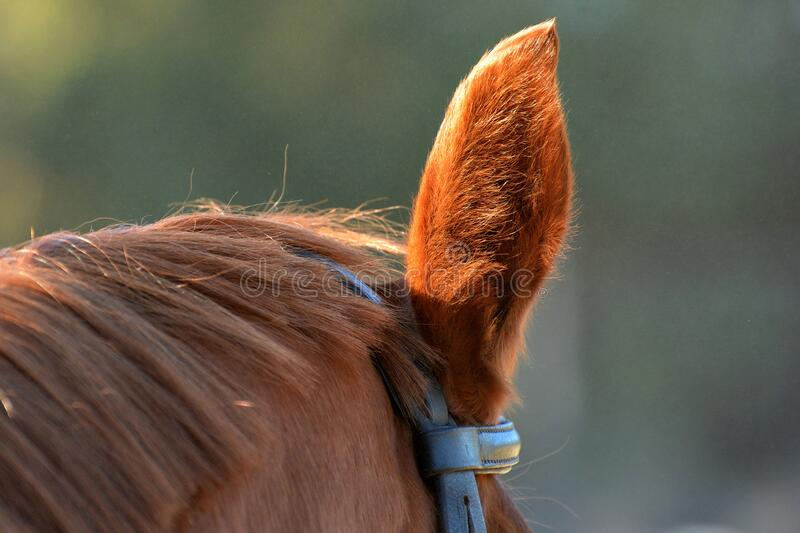 Ear of chestnut horse during riding royalty free stock photos