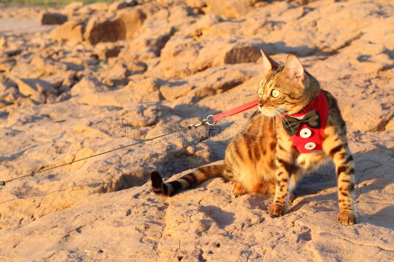 Attentive Exotic Cat with cool outfit outdoors.  stock image