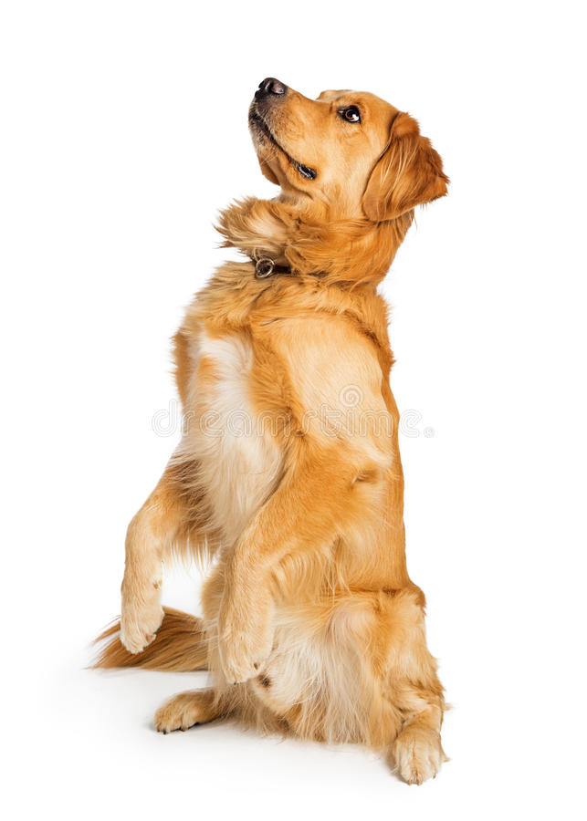 Attentive Golden Retriever Dog Sitting Up. Obedient and attentive purebred Golden Retriever dog sitting up and looking side. Isolated on white stock images