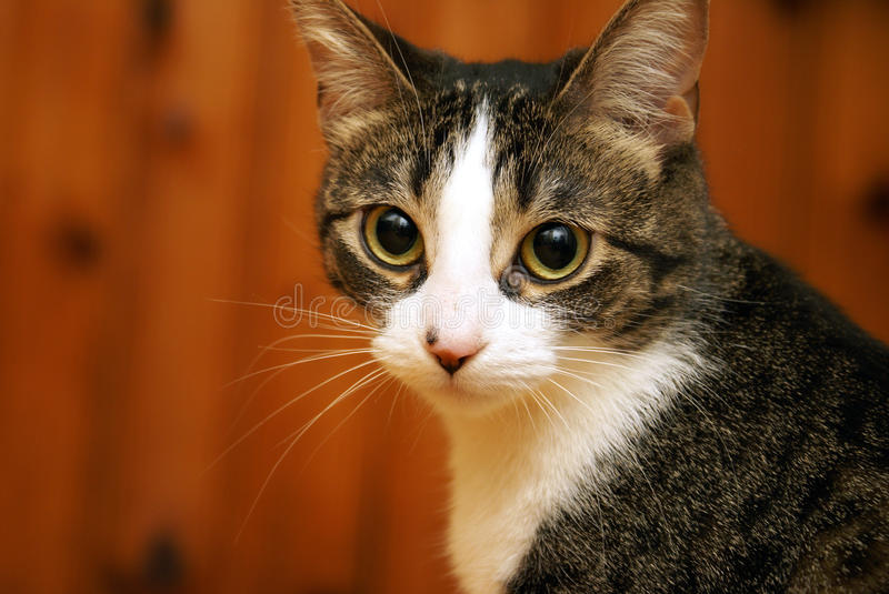 Attentive Housecat. A housecat looks alert and focused in this closeup facial shot stock image