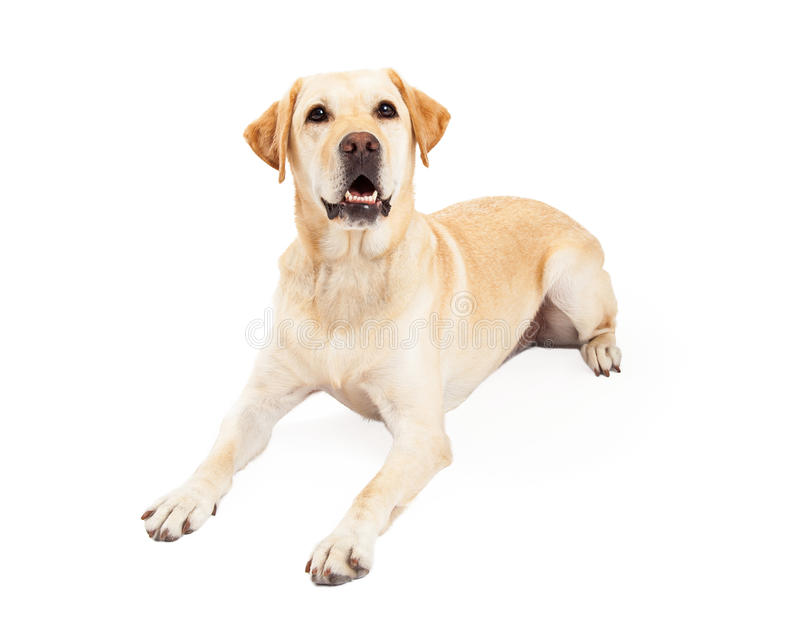 Attentive Labrador Retriever Dog Laying royalty free stock photo