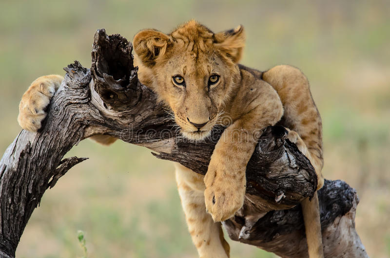 Attentive lion cub watching closely. Attentive young lion watching closely royalty free stock photo