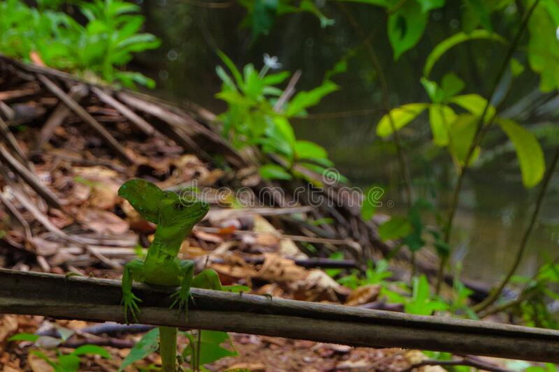 Attentive lizard. Common basilisk is a green lizard. This reptile is attentive in search of food stock photography