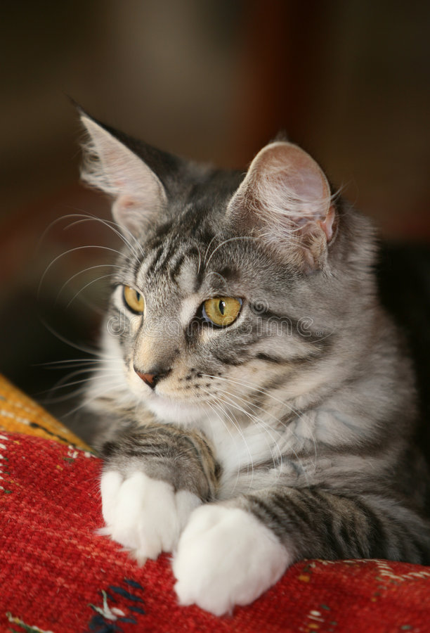 Download Attentive look stock image. Image of feline, coone, grey - 2695445