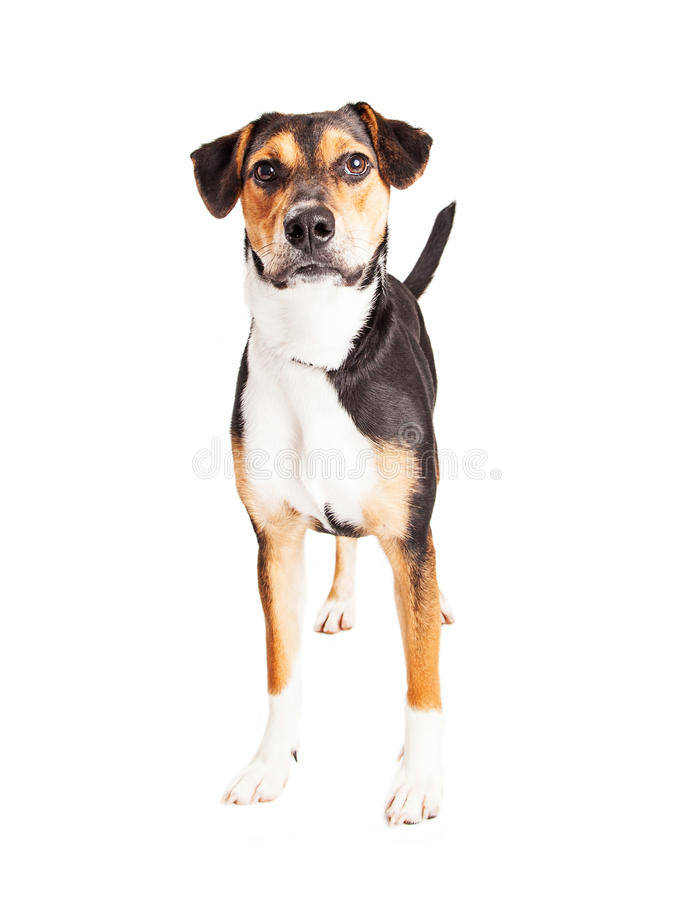 Attentive Mixed Breed Hound Dog Standing. Cute young mixed hound breed dog standing over white and looking straight forward into the camera royalty free stock photography