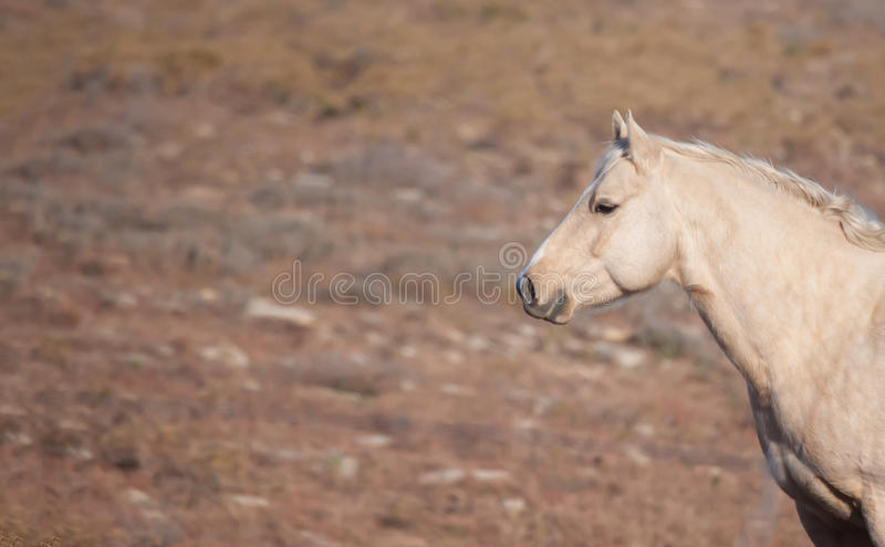 Download Attentive Palomino horse stock photo. Image of horse - 27855974