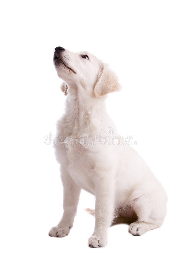 Attentive Puppy Royalty Free Stock Photography